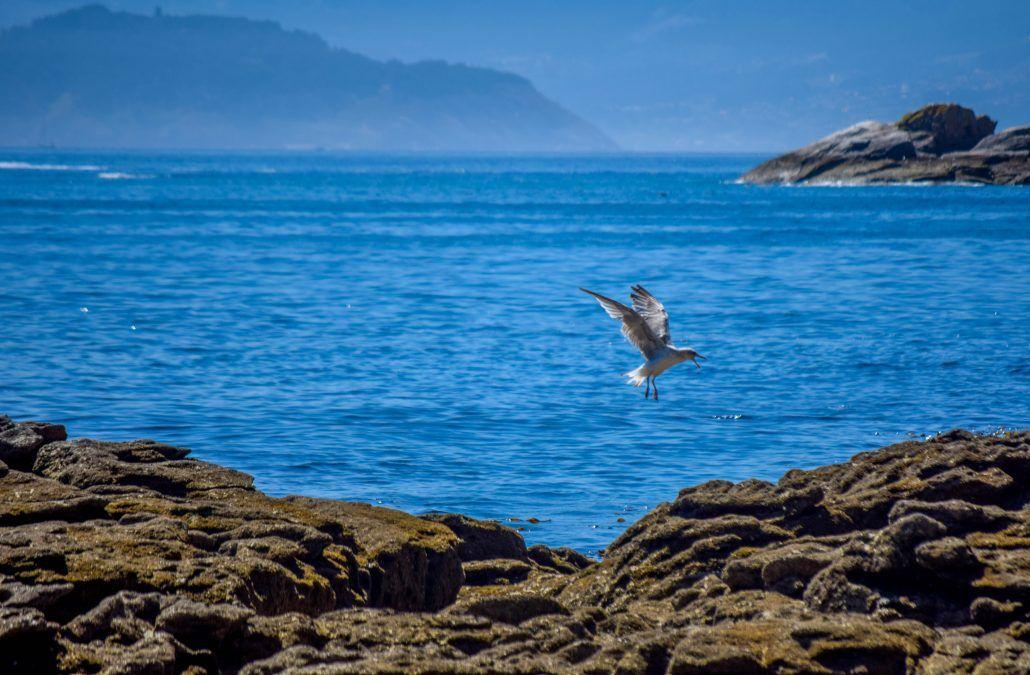 Ave en las islas Cíes