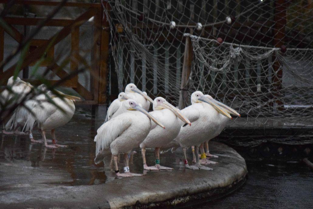Pelicanos en Valencia